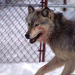Wolf vor Grenzzaun (Symbolbild)